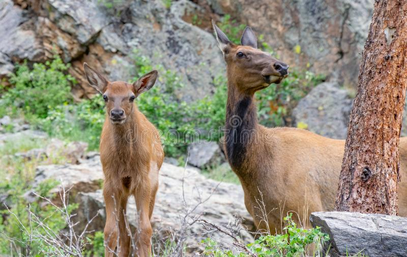 Curious Calf and Wary Mother Elk royalty free stock images