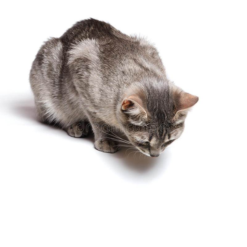 Curious cat. Beautiful tabby cat lying on white background royalty free stock images