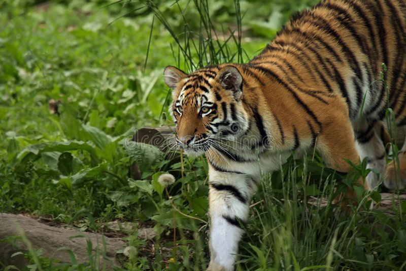 Download Curious Cat stock image. Image of endangered, orange, beauty - 5347373