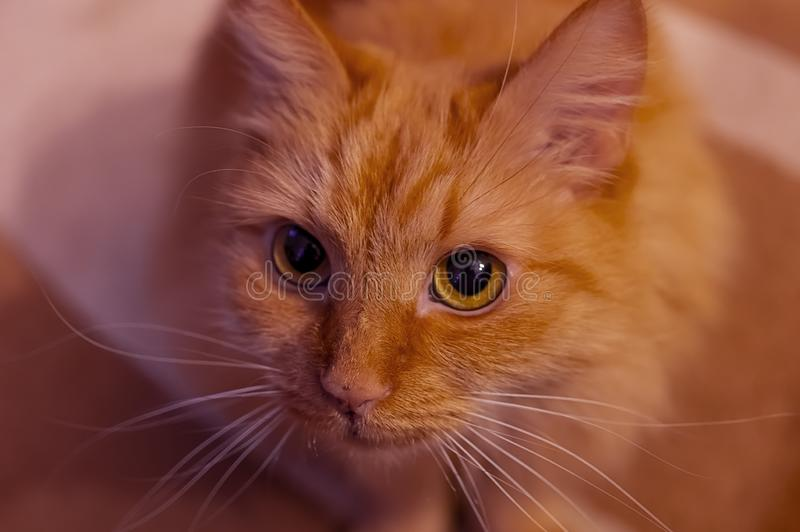 Curious cat, close-up. Curious cat, close-up, looking at you royalty free stock image