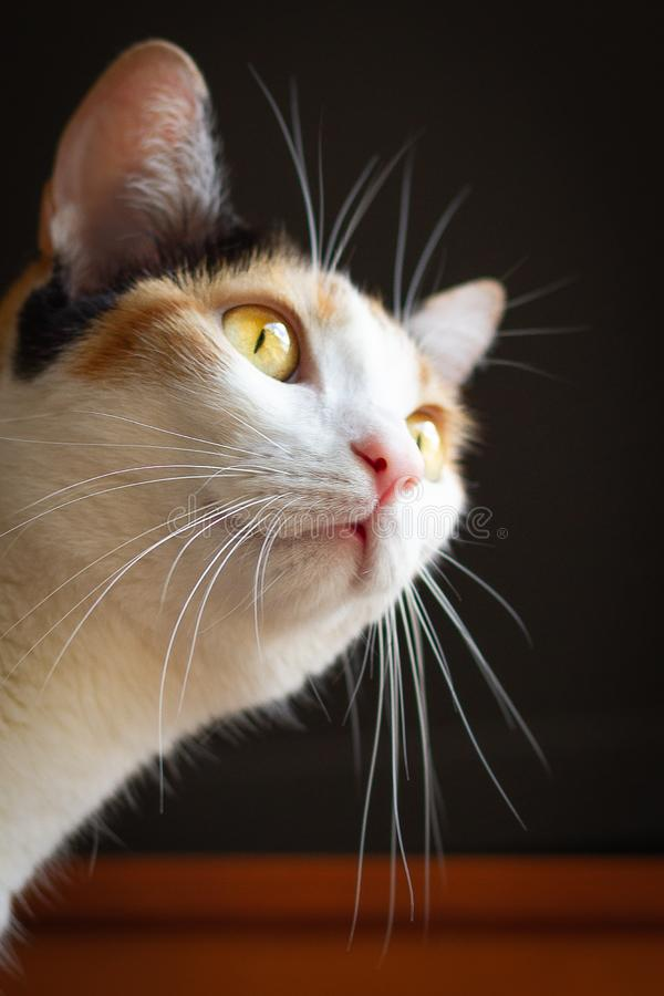 Curious cat head on dark background. Curious calico cat head looking up on dark background. Short hair adult femalennisolated stock images