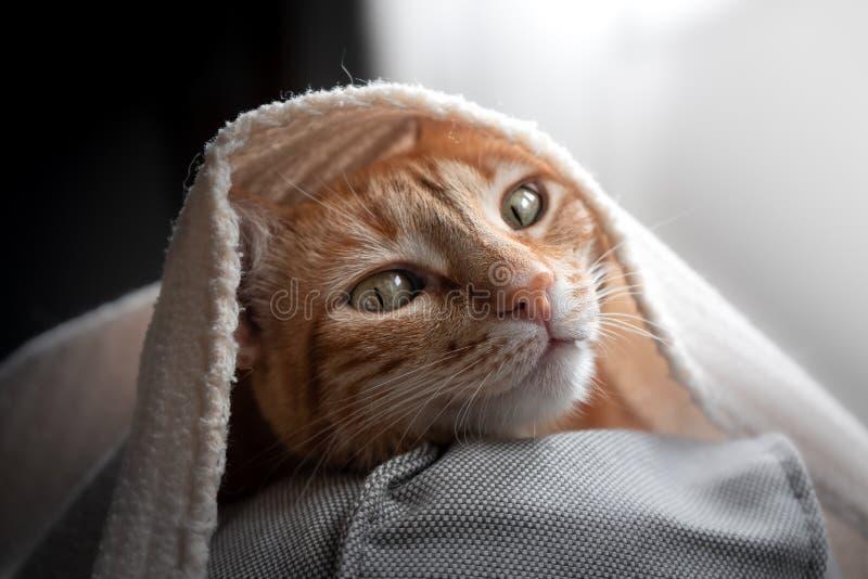 Curious cat is hiding under a blanket stock photos