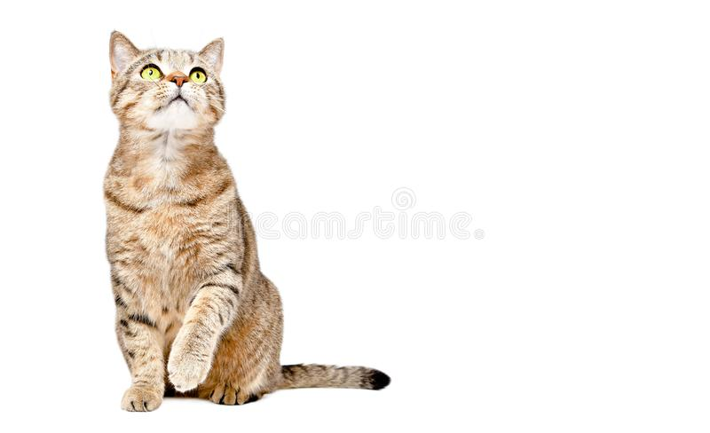 Curious cat Scottish Strait sitting with raised paw and looking up royalty free stock images
