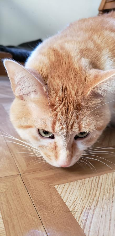 Curious Cat Stalking. Curious cat, prey, quiet royalty free stock image
