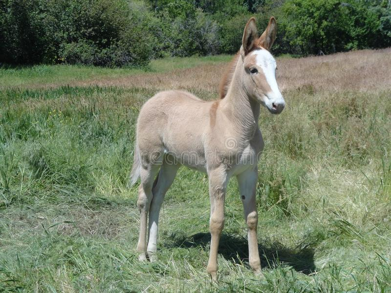 Curious yet Cautious Young Mule in a field near McCall, Idaho royalty free stock image