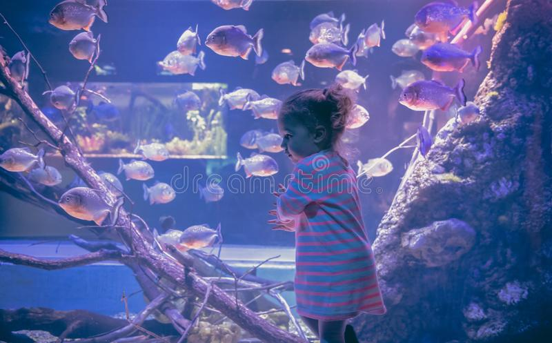 Curious child looking big aquarium underwater world with freshwater piranha fish concept children curiosity and development in blu royalty free stock photos