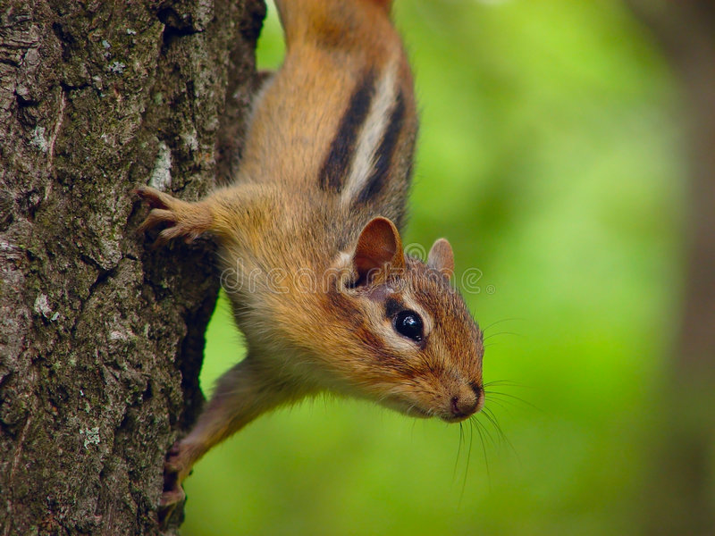 Curious Chipmunk. On the Tree stock images