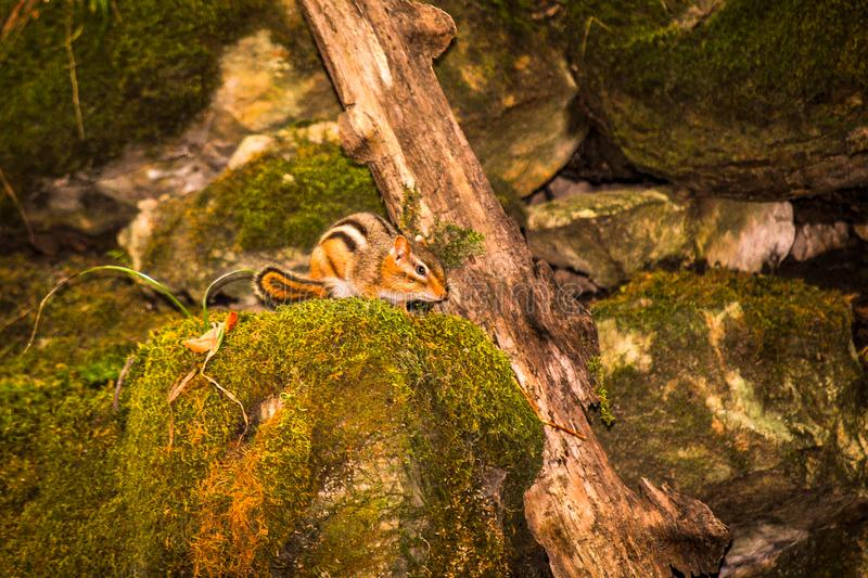 Curious Chipmunk in the Echo Valley Park. A curious little chipmunk is investigating the rock walls of the Echo Valley park near West Union royalty free stock photos