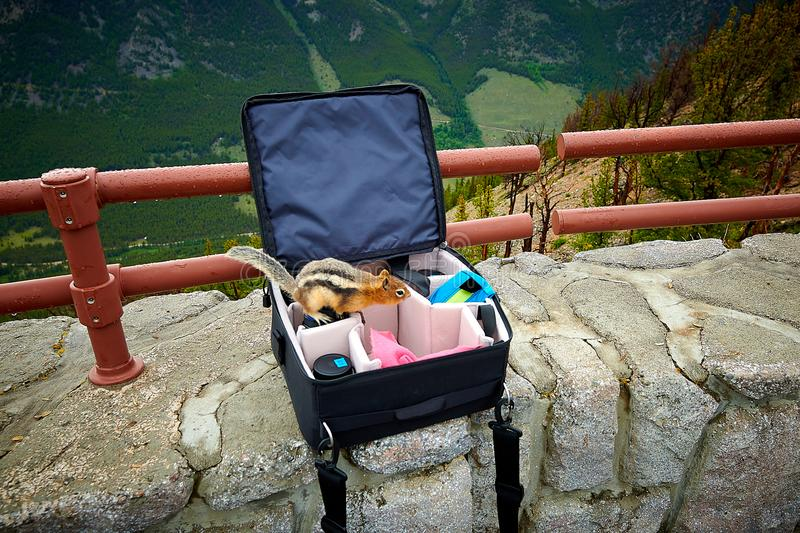 Curious chipmunk looking in camera bag for food.  stock photos