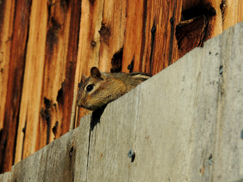 Curious Chipmunk. Peering at photographer from behind shutter royalty free stock image