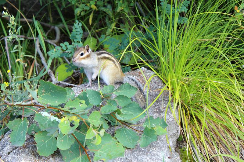Curious chipmunk sitting on a stone. In the summer forest. Close up. Furry rodent royalty free stock photos