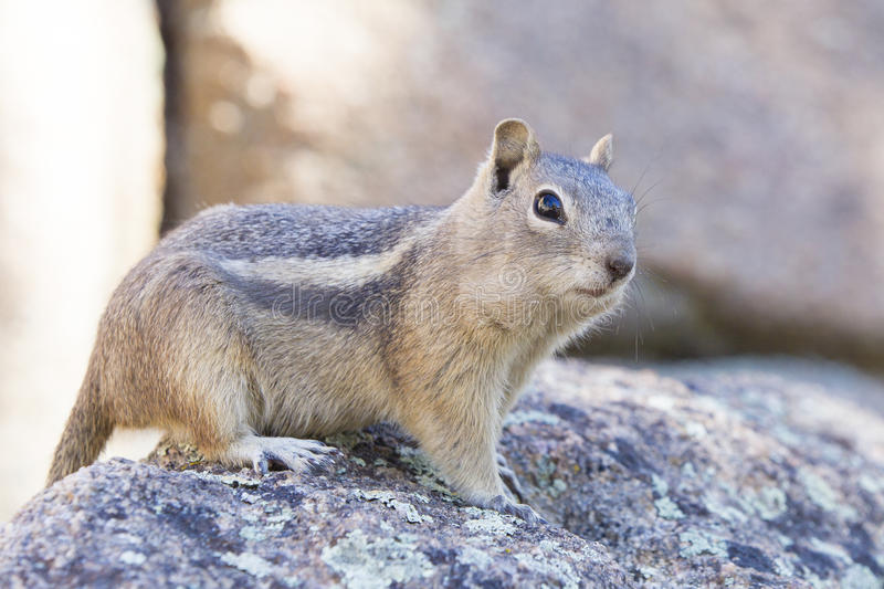 Curious chipmunk. Standing on a rock stock photography