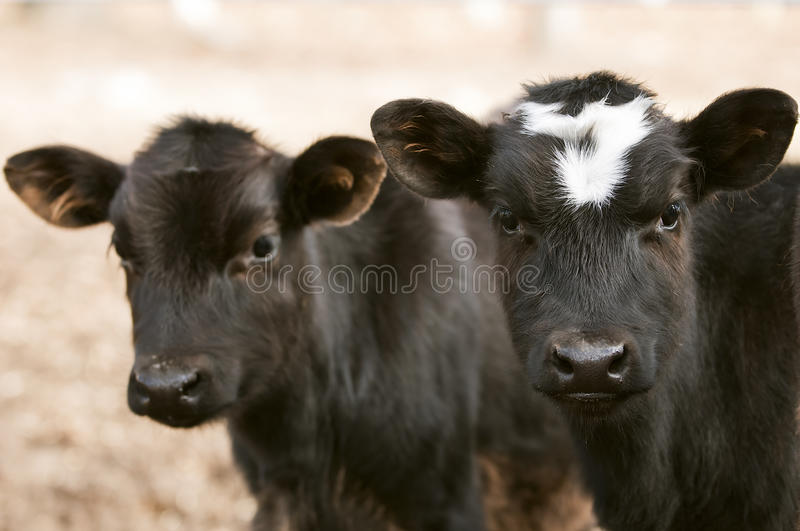 Download Curious Chocolate Cows stock image. Image of wildlife - 27168481