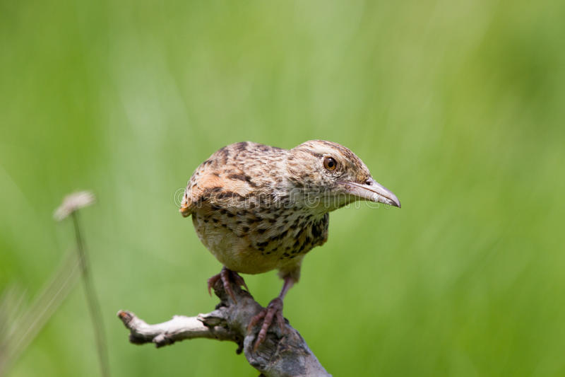 Curious cisticola royalty free stock images