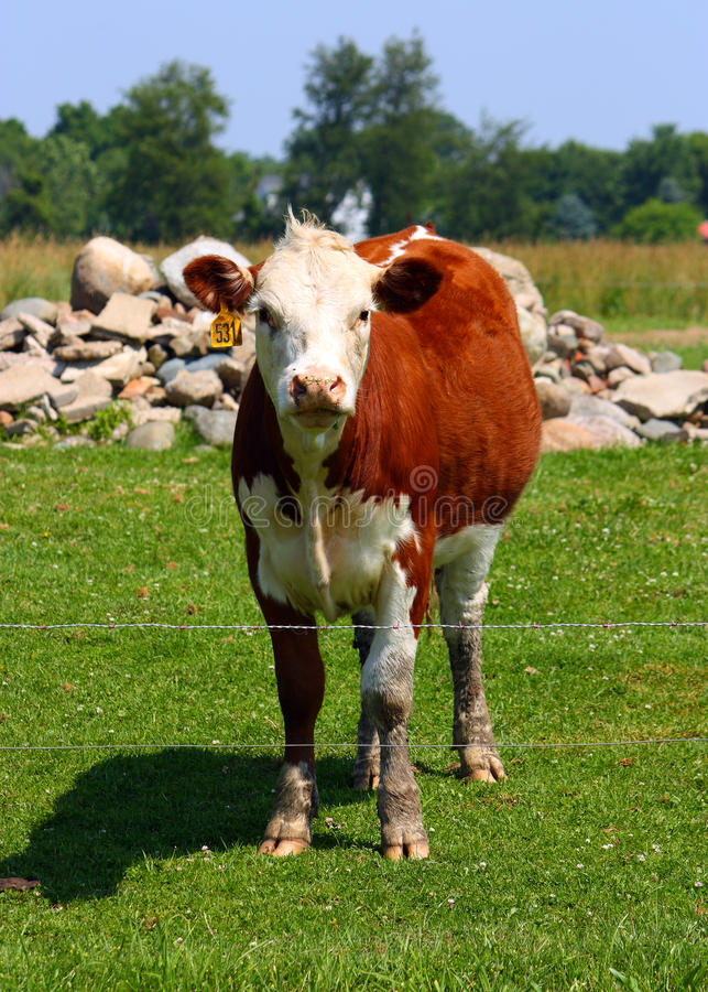 Download Curious Cow stock photo. Image of muddy, field, wire - 14977782