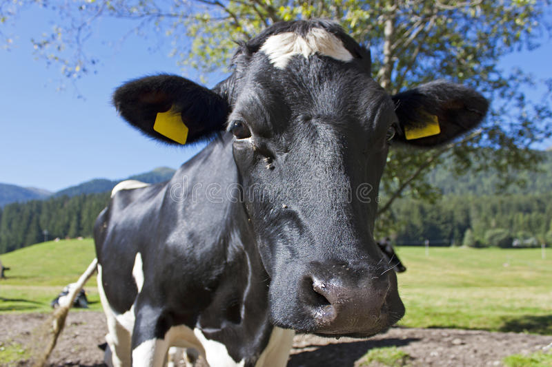 Download A curious cow stock illustration. Image of alimentation - 27671277