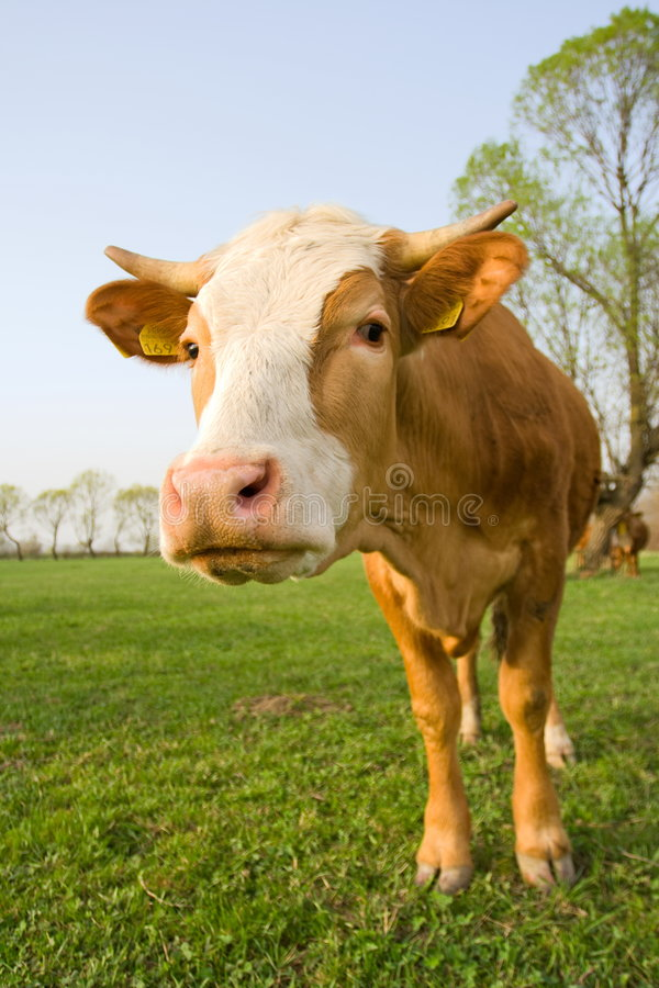 Curious cow royalty free stock image