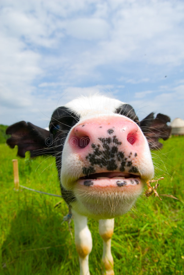 Download Curious Cow Stock Photos - Image: 5904983