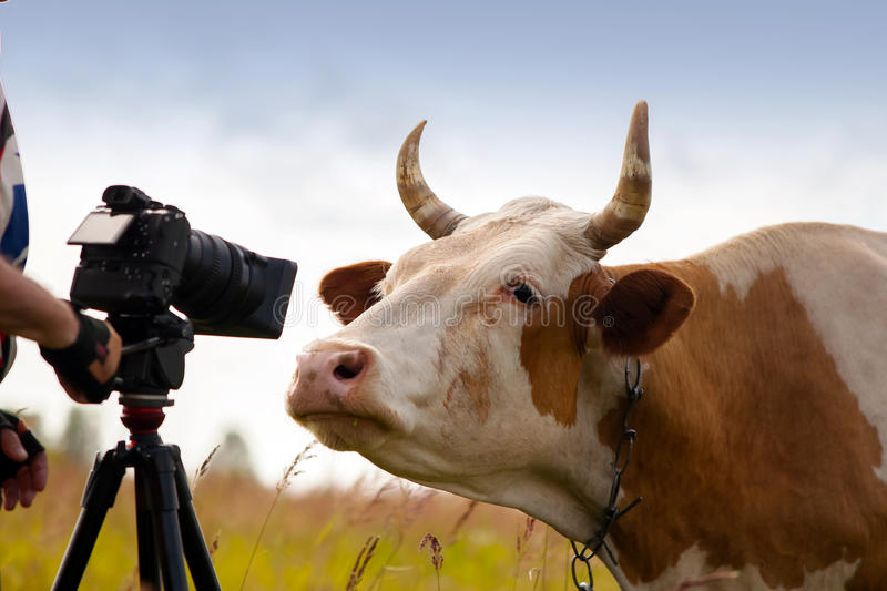 Curious cow look in camera with funny expression. Curious cute cow closeup looking into camera with funny expression. Ironical and humorous concept of model stock photos