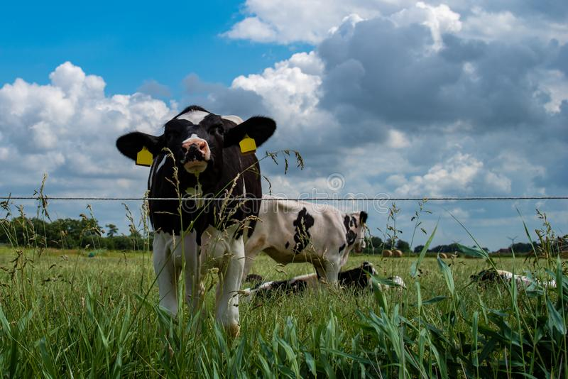 A curious cow looking at the camera. In background more cows grazing or lying in the grass. Blue sky with dramatic clouds stock images