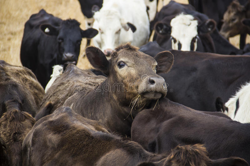 Curious brown cow looks out from the herd stock image