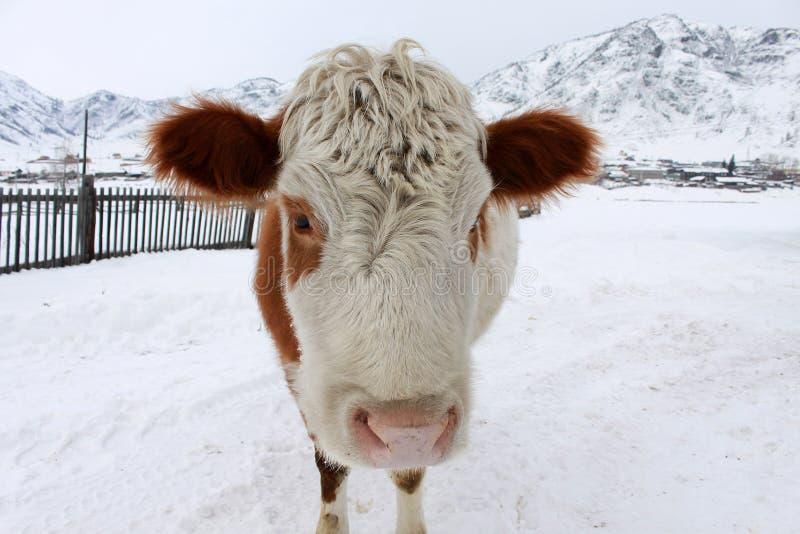 Curious cow stock photos