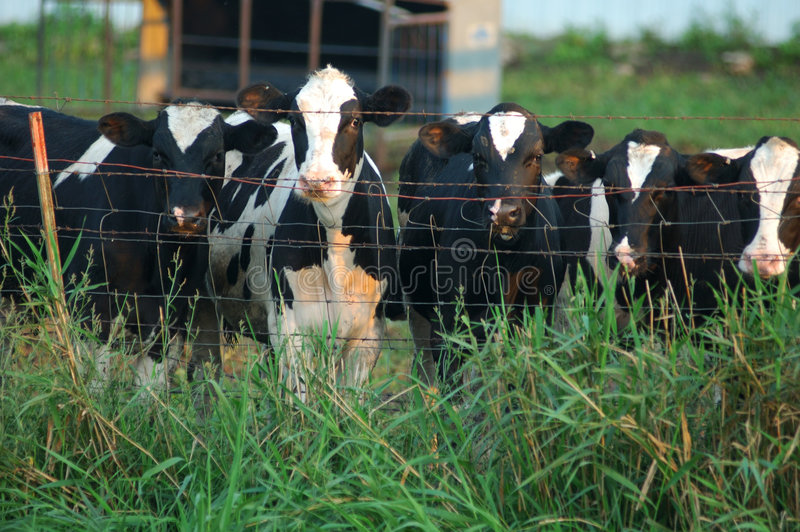 Curious cows royalty free stock image