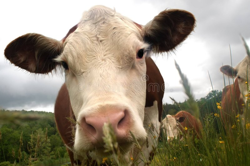 Curious cows royalty free stock images