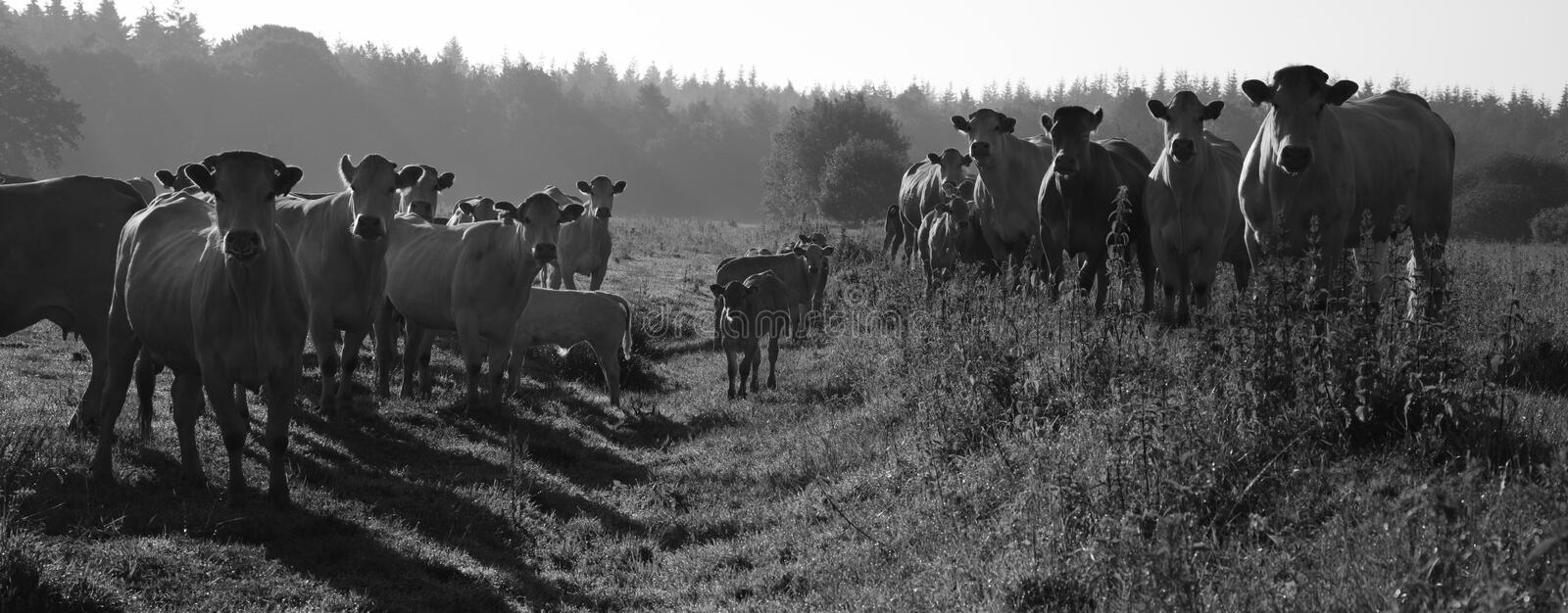 Download Curious cows stock image. Image of chew, field, dawn - 22588693