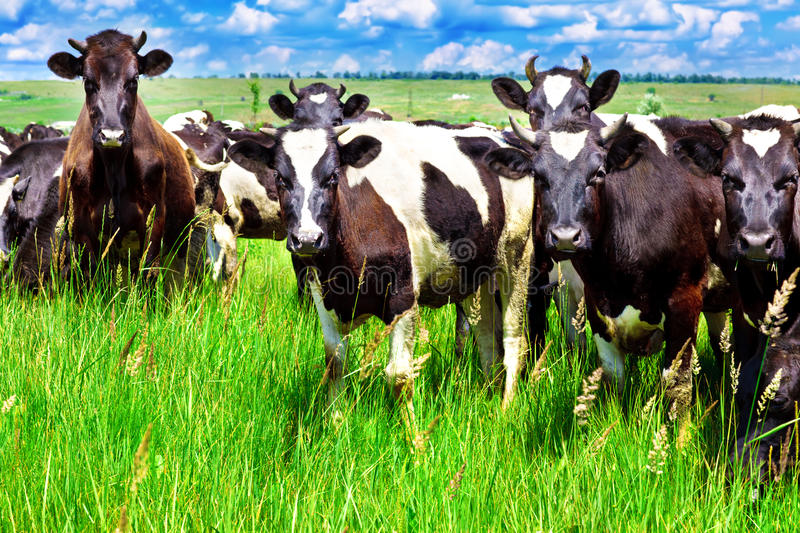 Download Curious cows stock image. Image of eating, field, graze - 25760989