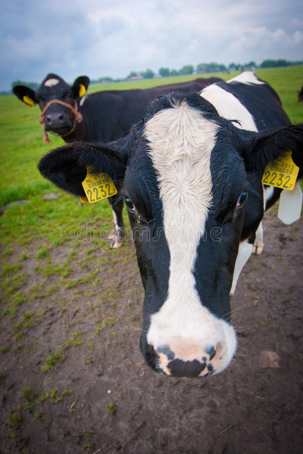 Download Curious cows stock photo. Image of agribusiness, heifer - 26639920