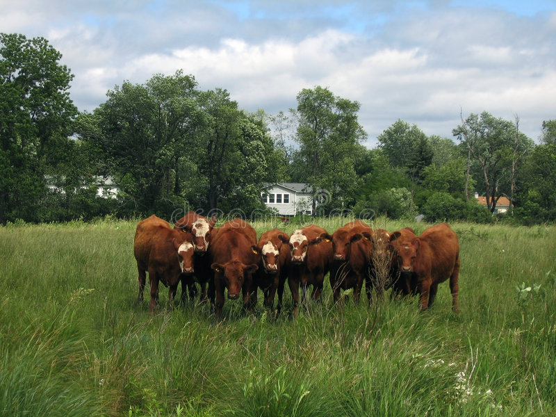 Download Curious Cows stock photo. Image of line, farm, posing, pasture - 862022