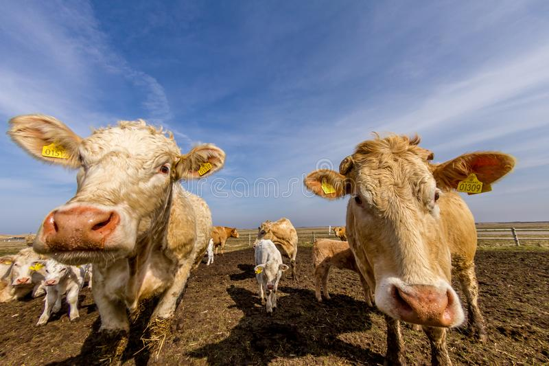 Curious cows stock images