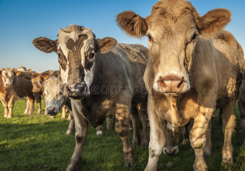 Curious Cows stock image
