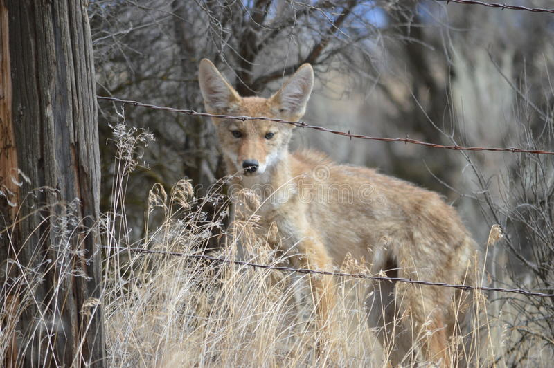 Curious Coyote Pup royalty free stock photo