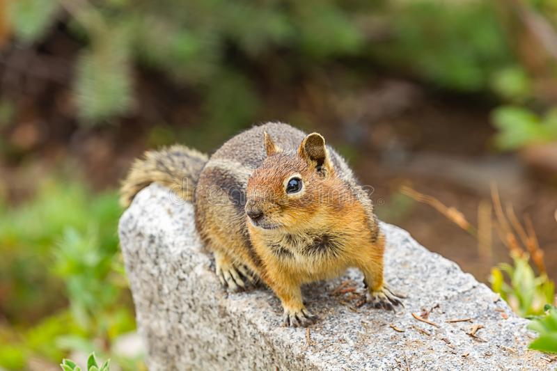 Curious cute chipmunk up on gray rock. Near meadow in washington royalty free stock photos
