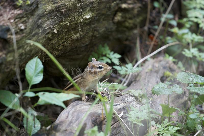 The curious cute little chipmunk. Wild life. The cute little curious chipmunk. Autumn. Awake. Sitting on the wood royalty free stock images