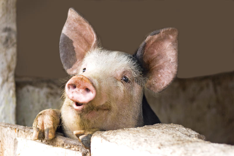 Curious cute pigs stock photos