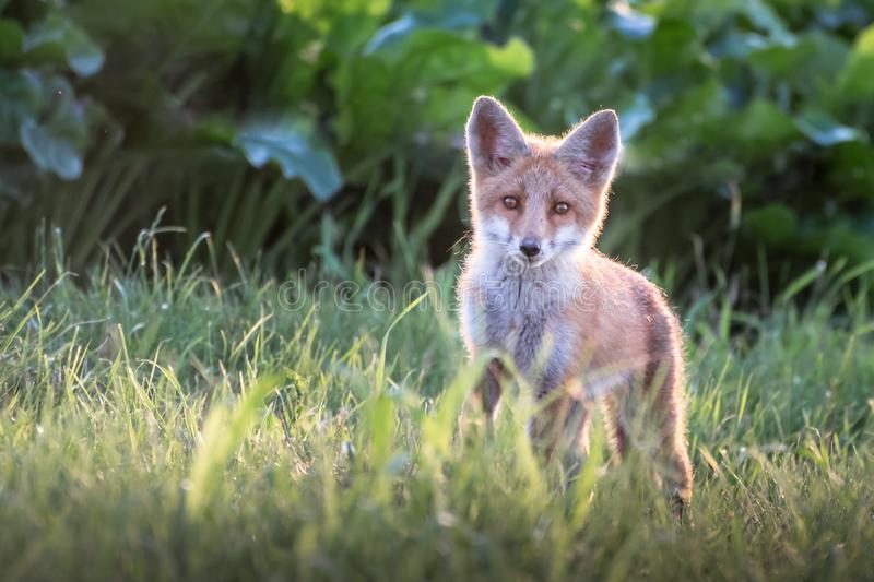 Red fox cub. Vulpes vulpes. European wildlife. Curious cute red fox cub in stands in the grass field and looking straight at camera royalty free stock image