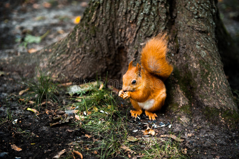 Curious cute Red Squirrel, Tamiasciurus hudsonicus sitting under the tree in the park royalty free stock image