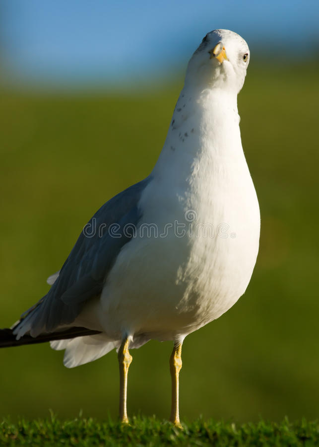 Download Curious Cute Seagull Tilting Head Stock Photography - Image: 22027812