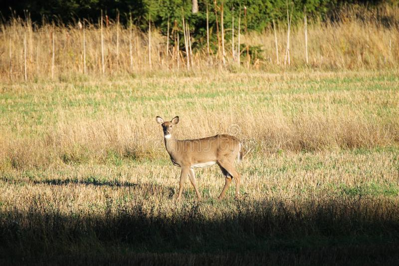 Curious deer in the field stock photo