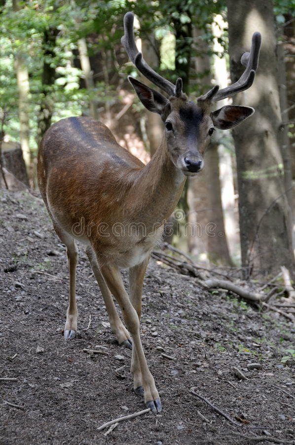 Curious deer, inspecting the photographer stock photo