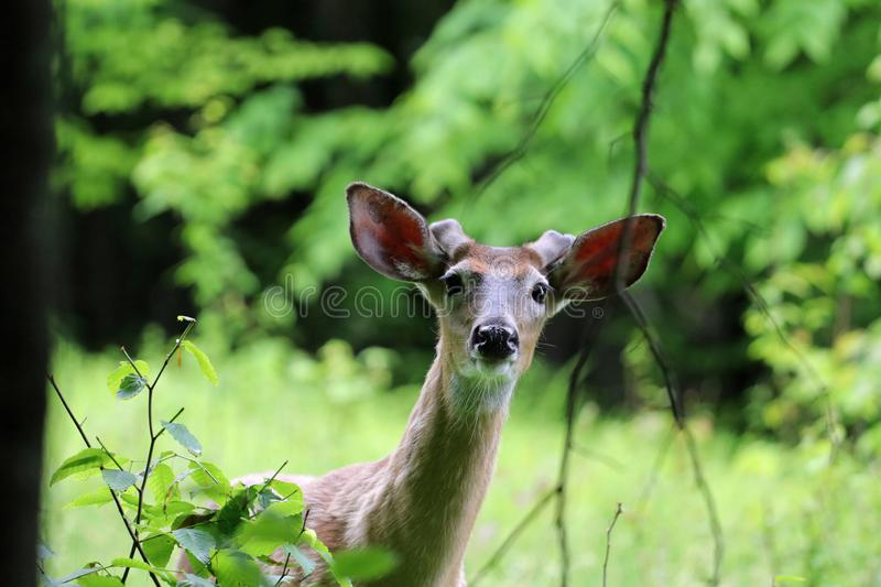 A curious deer portrait royalty free stock image