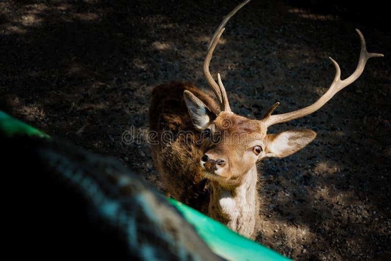 Download Curious deer stock image. Image of mammal, deer, national - 83713463