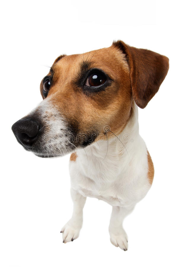 Curious dog. Dog Jack Russel is looking with curiosity on white background stock images