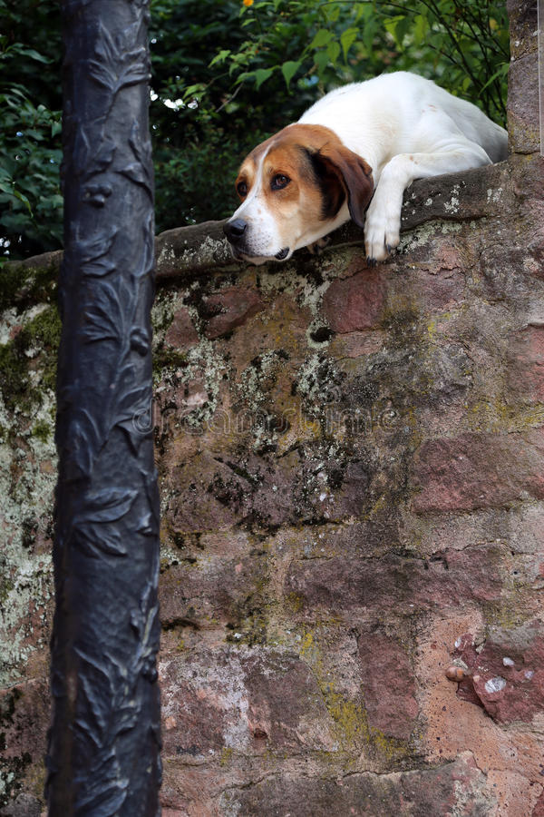 Curious dog looking over the wall stock images