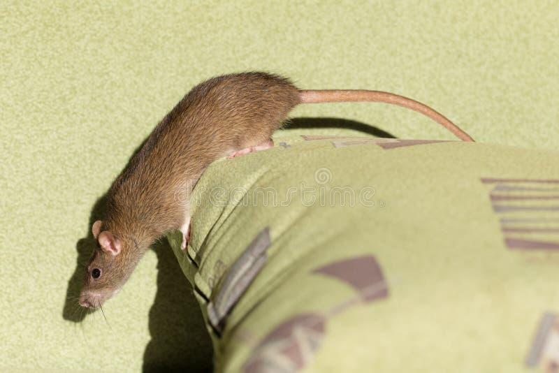 Curious Domestic Rat Stock Photo