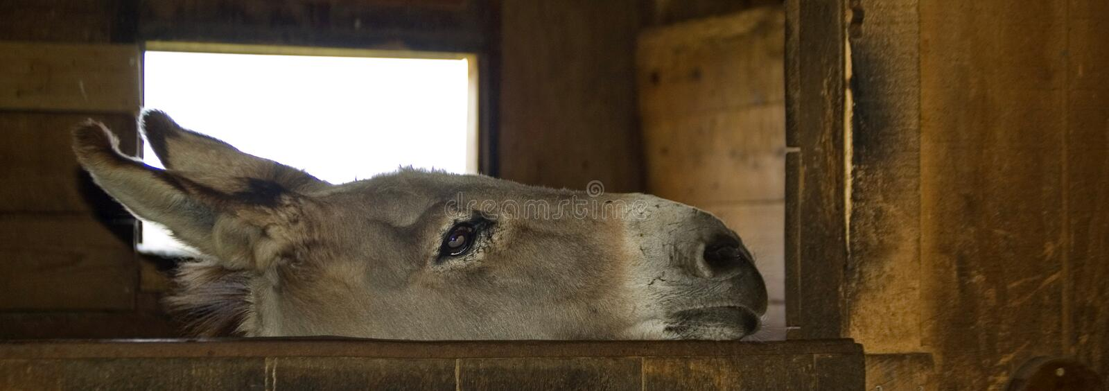 Curious donkey. Nice donkey in an american farm stock images