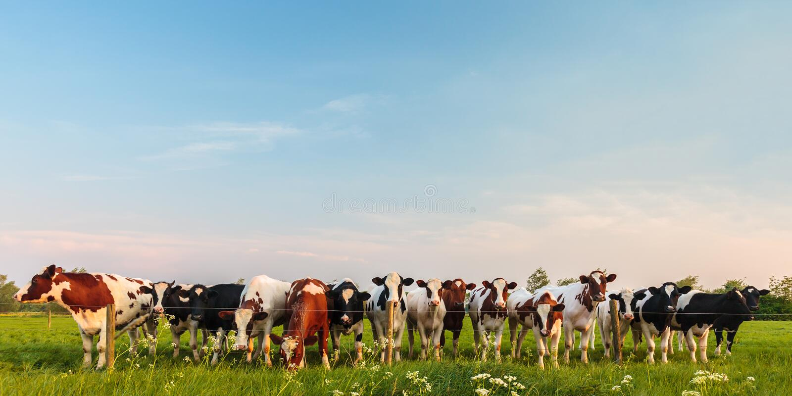 Download Curious Dutch Milk Cows In A Row Stock Image - Image: 29244609